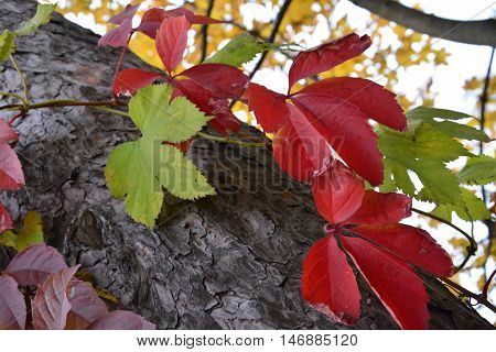 Autumn red and green leaves on a tree trunk