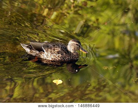 Wild female duck over the water background