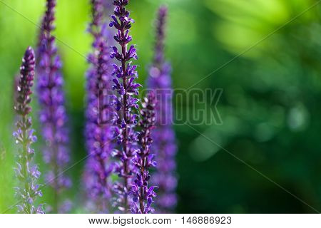 The closeup image of violet lavender flowers in the field in sunny day