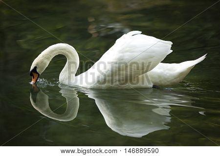 Swan, bird, white, grace, beauty, nature, beautiful, swimming, fauna, wing,