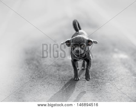 Funny puppy Chihuahua poses on a gray background