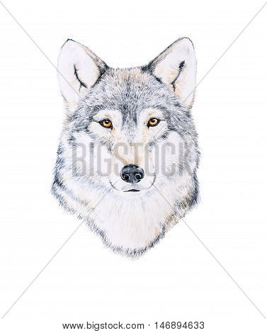 Watercolor drawing of a wolf's head on white