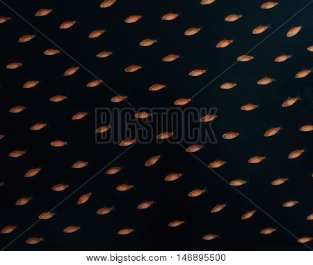 Gold Fish Isolated on a Black Background.
