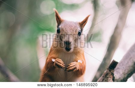surprised red fur funny Squirrel at autumn forest background, wild nature animal thematic Sciurus vulgaris, rodent