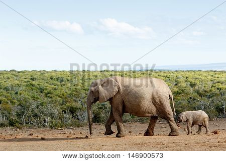 Long Walk To Free  Freedom - African Bush Elephant