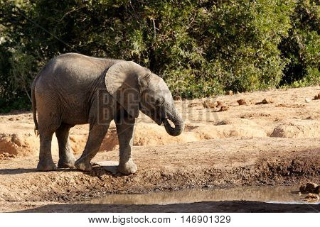 African Bush Baby Elephant Drinking Water