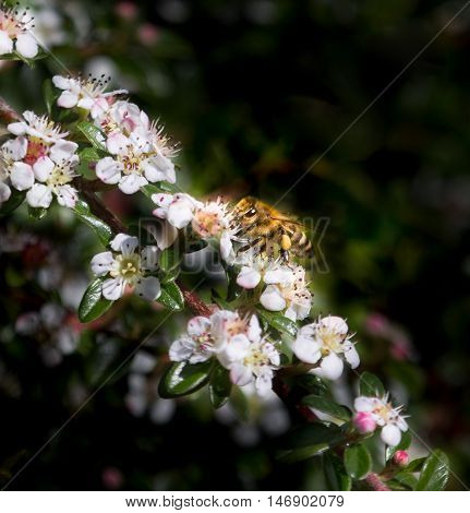 A bee feasts on nectar of flowers.