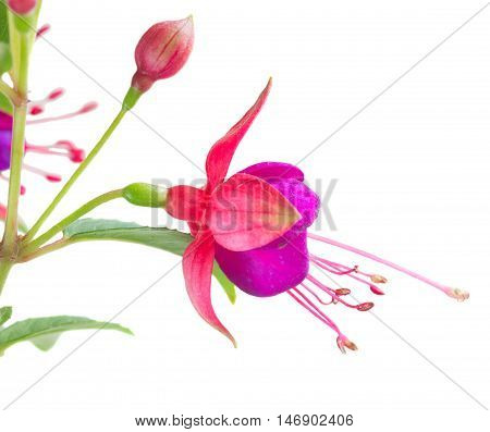 Fuchsia flower and bud isolated on white background