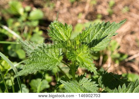 Stinging nettle in the garden. Urtica dioica