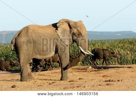 Look Bird The African Bush Elephant