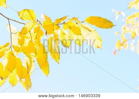 Vibrant fall yellow golden tree foliage close up on pale blue sky
