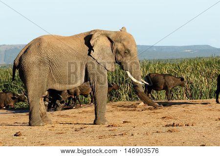 I Am Big The African Bush Elephant