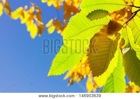 Vibrant fall green, yellow golden tree foliage close up on blue sky background
