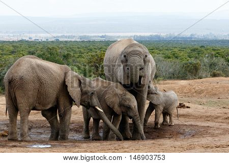 The Real African Bush Elephant Family