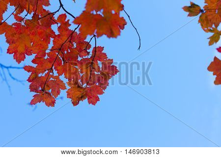 Vibrant fall orange tree foliage on blue sky