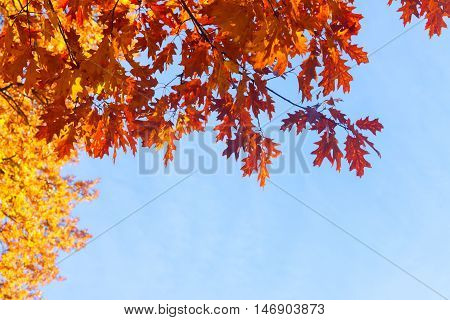 Vibrant fall orange oak tree foliage on blue sky