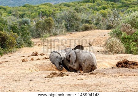 Please Brother You Are And African Bush Elephant