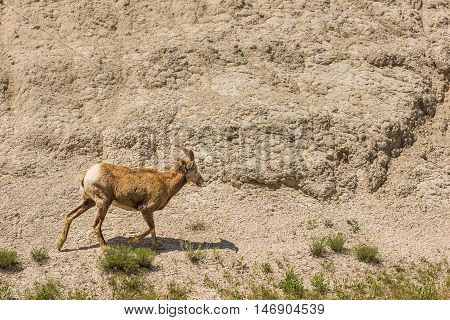 Bighorn sheep or mountain ram lamb with small horns walking by rock canyon in Badlands National Park