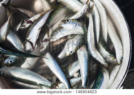 Сatch Of Small Fish In Bucket