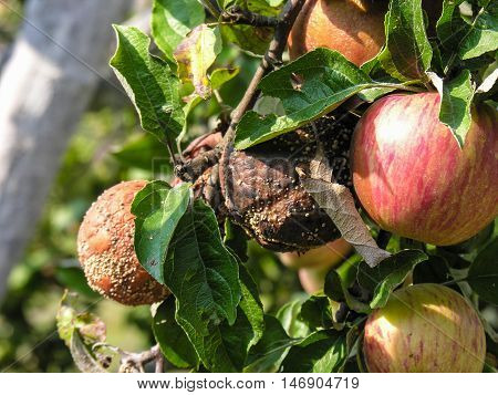 Spoiled rotten fruit on the branch next to healthy ripe apples