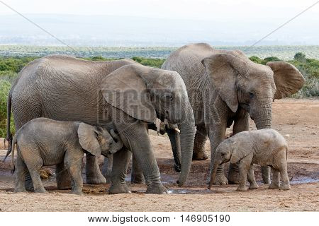 African Bush Elephant Family Structure