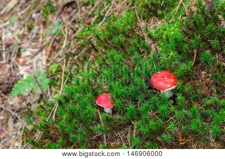 young small Amanita muscaria a poisonous mushrooms in a forest
