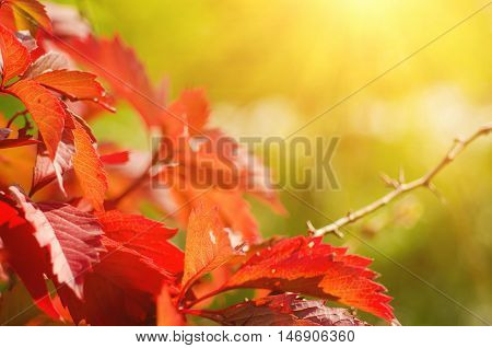 Wild grape leaves, natural sunny seasonal autumn background with copy space