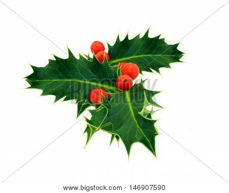 Holly with red berries on a white background