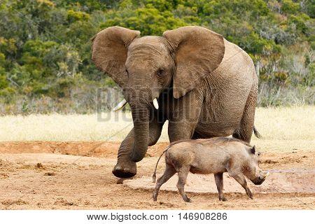 African Bush Elephant My Water Go Away