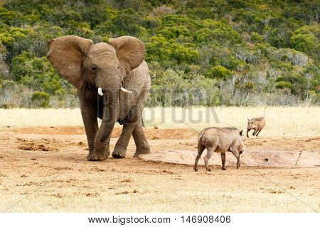 Still Here - African Bush Elephant