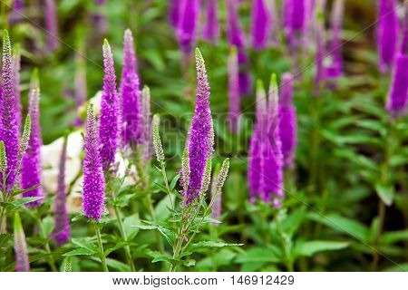 Salvia nemorosa is a hardy herbaceous perennial plant native to a wide area of central Europe and Western Asia