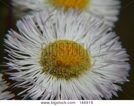 White Aster Wildflower