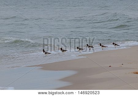 Oystercatcher Baltic .. Rozewie, Poland September 03, 2016 Oystercatchers on the coast of the Baltic Sea to the cape Rozewie.