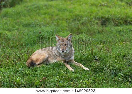 A lone coyote in a summer forest