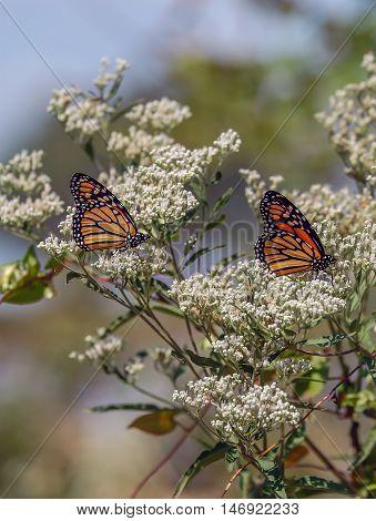 Monarch Butterflies on Milkweed plants in summer