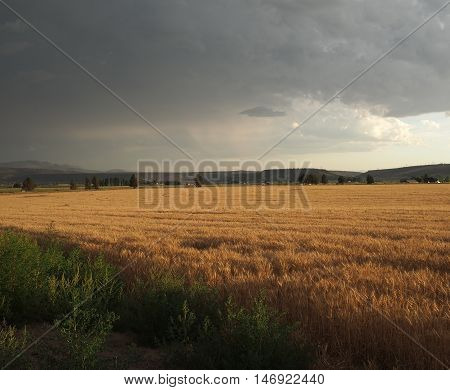 A field of golden grain is lit beautifully from the sun breaking through storm clouds on a summer Central Oregon day.