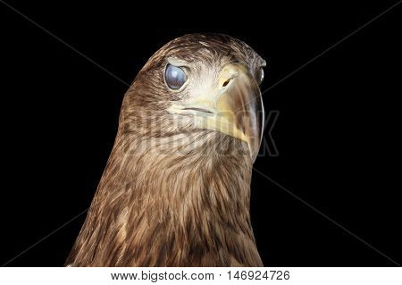 Close-up Head of White-tailed eagle, blink eye, Birds of prey, isolated on Black background
