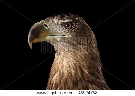 Close-up Head of White-tailed eagle, menacing looks, Birds of prey, isolated on Black background