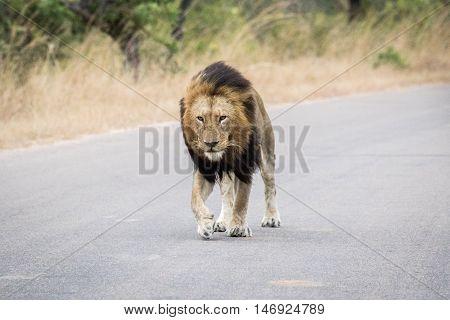 Huge Male Lion Walking Towards The Camera.