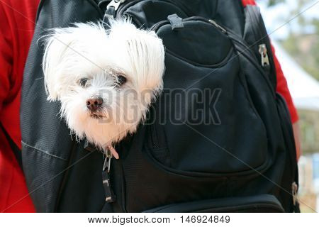 A beautiful Maltese dog rides in his Doggie Backpack when he goes on adventures.