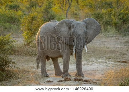 Big Elephant Starring In The Kruger.