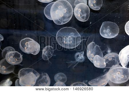 Moon Jellyfish swimming in a fish tank.