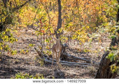 Steenbok Starring At The Camera.