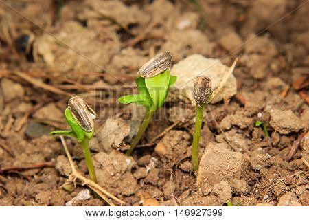 close up young sunflower sprouts growing in soil