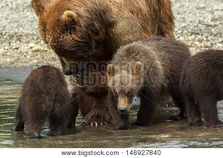 Brown bear with cubs on the shore of Kurile Lake. Southern Kamchatka Wildlife Refuge in Russia.
