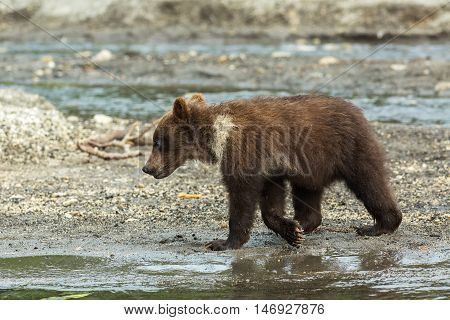 Brown bear cubs on the shore of Kurile Lake. Southern Kamchatka Wildlife Refuge in Russia.