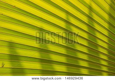 close up Green Palm leaves textures nature backgrund