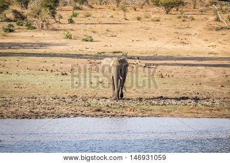 An Elephant Walking Towards The Water.