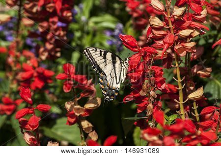 Butterfly amongst red flowers background closeup in sunny day