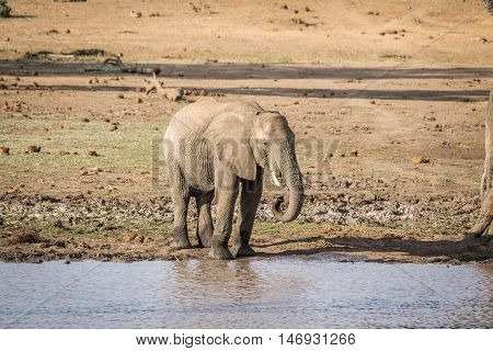 An Elephant Drinking In The Kruger.